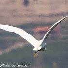 Little Egret;