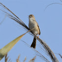 Warbler  -  Eurasian Reed Warbler