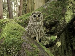 Photo: Juvenile Barred Owl