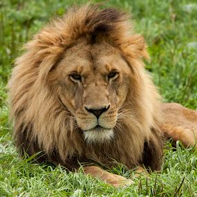 by Francois Larocque - Animals Lions, Tigers & Big Cats ( face, lion, cat, grass, green, rest, feline, portrait,  )