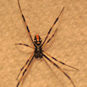 Southern Black Widow Spider (Male)
