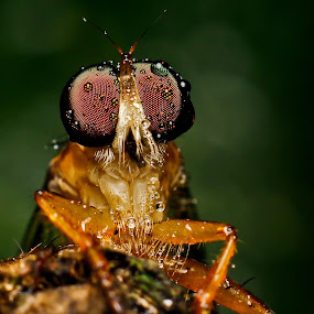 Robberfly by Oren Kaler - Animals Insects & Spiders ( macro, animals, nature, insects )