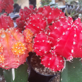 Red cactus plant  by Maricor Bayotas-Brizzi - Nature Up Close Other plants (  )