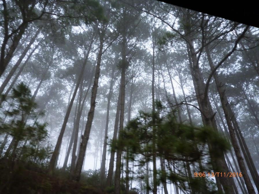 rừng thông mờ sương
