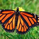 CU monarchs