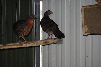 Photo: Tragopan temmincki pair