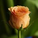 Rose Wallpaper HD icon