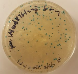 E. Coli with G1 pGEM transformation plate
