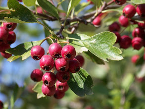 Photo: Crataegus monogyna. Frutos