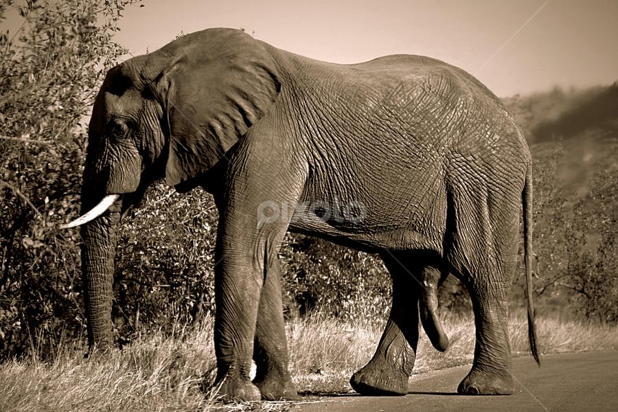 A Relaxing Bull by Pieter J de Villiers - Black & White Animals