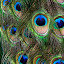 peacock feathers by Steven Faucette - Abstract Patterns ( feathers, peacock )
