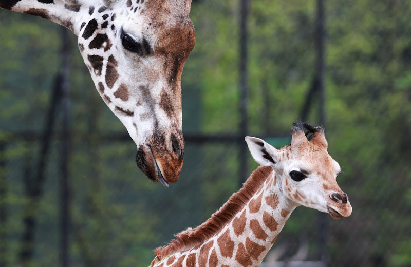 Photo: HAMBURG, GERMANY - APRIL 18: A baby giraffe calf named Mugambi explores alongside his mother Etosha the compound at the Hagenbeck Zoo on April 18, 2012 in Hamburg, Germany. The male calf was born on March 13 with a weight of 55 kilos. Credit: Joern Pollex/Getty Images Date: April 18, 2012