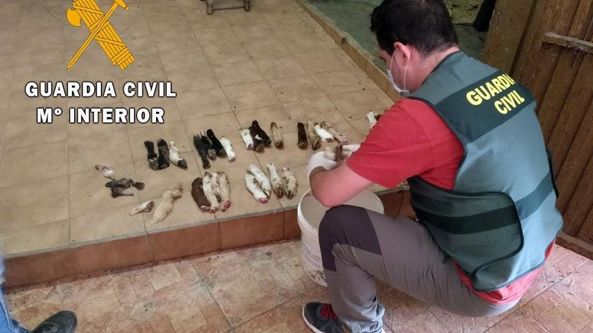 Uno de los agentes de la Guardia Civil localizando restos de animales