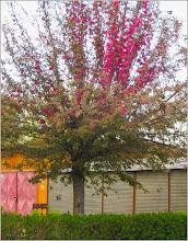 Photo: Măr decorativ (Malus Royalty)  - din Turda, Str. Constructorilor - 2019.04.15