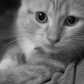 by Brendon Hallman - Animals - Cats Portraits (  )