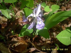 Photo: Dwarf Iris