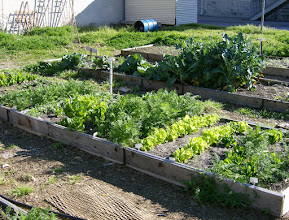 Photo: Carrots, lettuce and broccoli 3/12/10