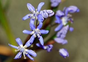 Photo: Scilla - Blaue Blüten ganz nah