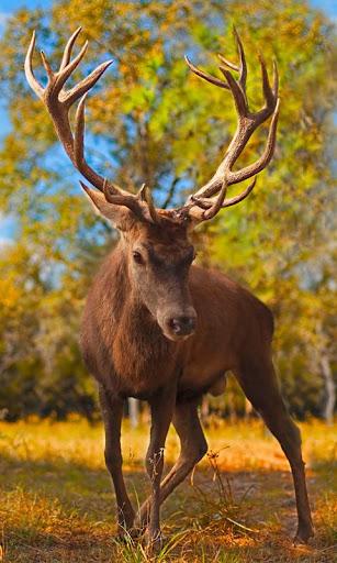live deer wallpapers