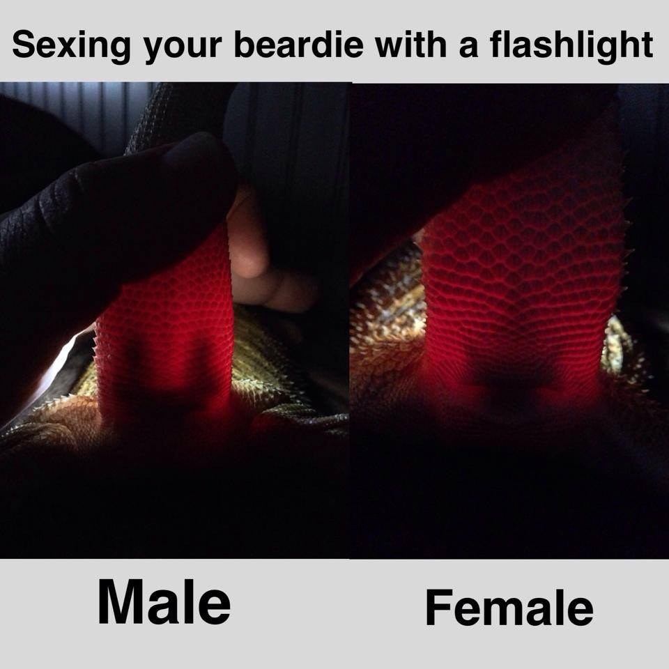 Bearded Dragon Male versus Female Flashlight test results