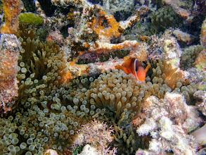 Photo: Amphiprion barberi (Fiji Tomato Clownfish) with Entacmaea quadricolor (Bubble Anemone) , Naigani Island, Fiji