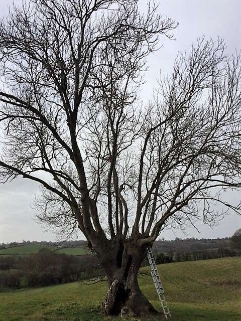 before pruning an ash tree in worcestershire