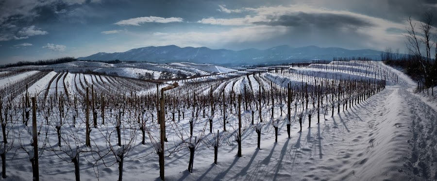Biljenski Winter by David Furlan - Landscapes Prairies, Meadows & Fields ( vineyard, winter, slovenija, slovenia, snow, panorama )