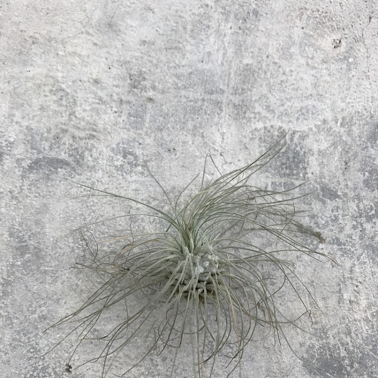 Air Plant - Tillandsia fuchsii var gracilis by AquaticsForevers Enterprise