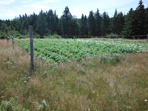 Photo: The potato garden is doing really will. The fencing is to keep the eight moose out of the garden.