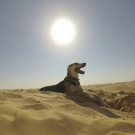 Desert hound at sunset by Rebecca Rees - Animals - Dogs Portraits