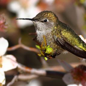 Anna's Hummingbird by Andrew Johnson - Animals Birds ( bird, nature, hummingbird, wildlife, animal )