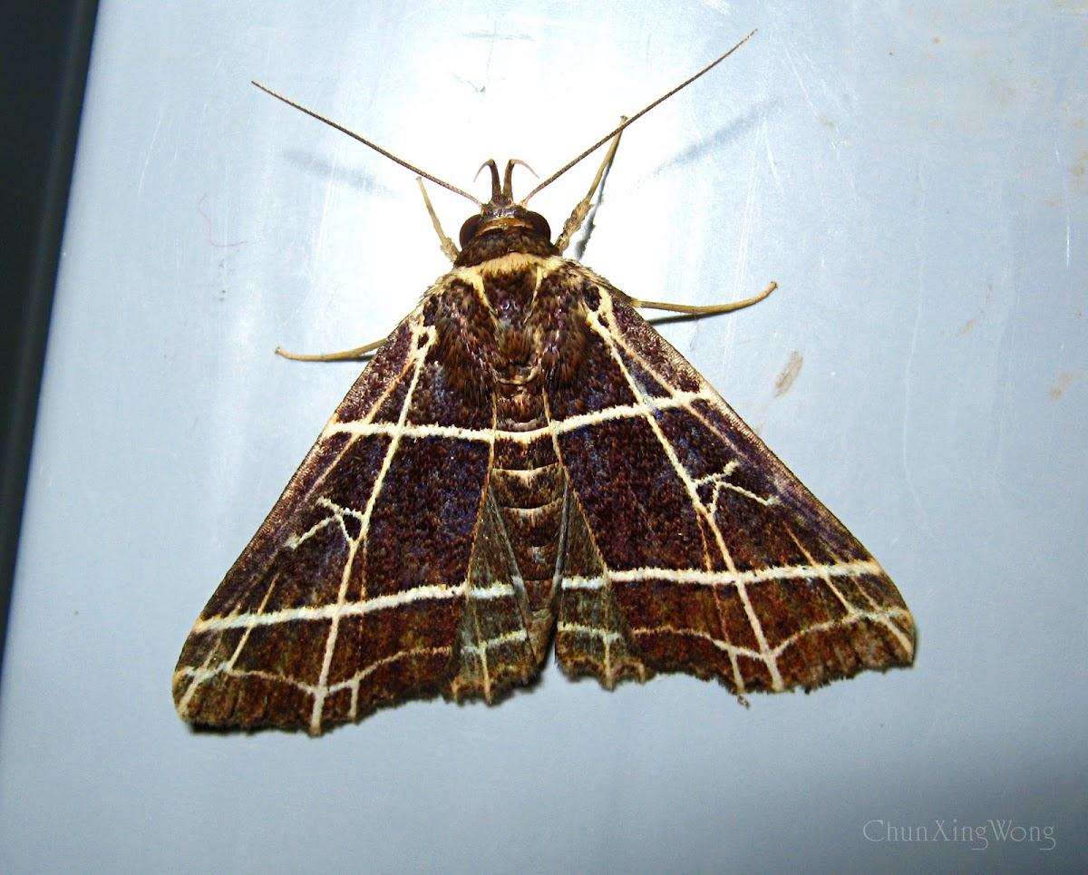 Checkered Owlet Moth