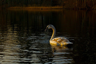 Photo: Young Swan in Late Afternoon  This photo was almost deleted. None of my bracketed exposures really worked, and HDR was out of the question. I just kept going back to it, and finally processed an image I'm pleased with.  #365Project #FourSeasonsFriday