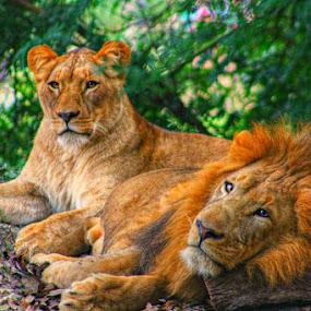 Lazy days by Toni Haas - Animals Lions, Tigers & Big Cats ( big cats, safari, lions,  )