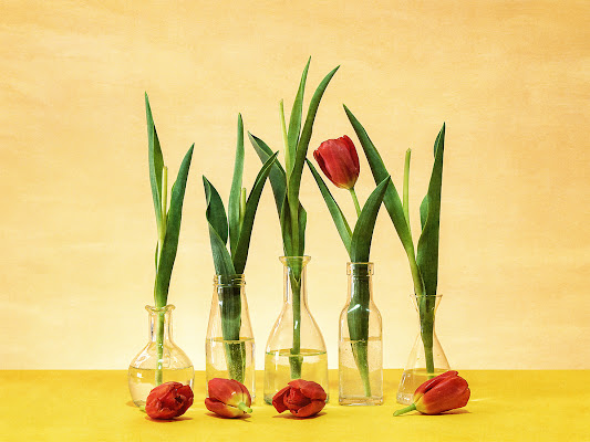 Tulipano di renzodid