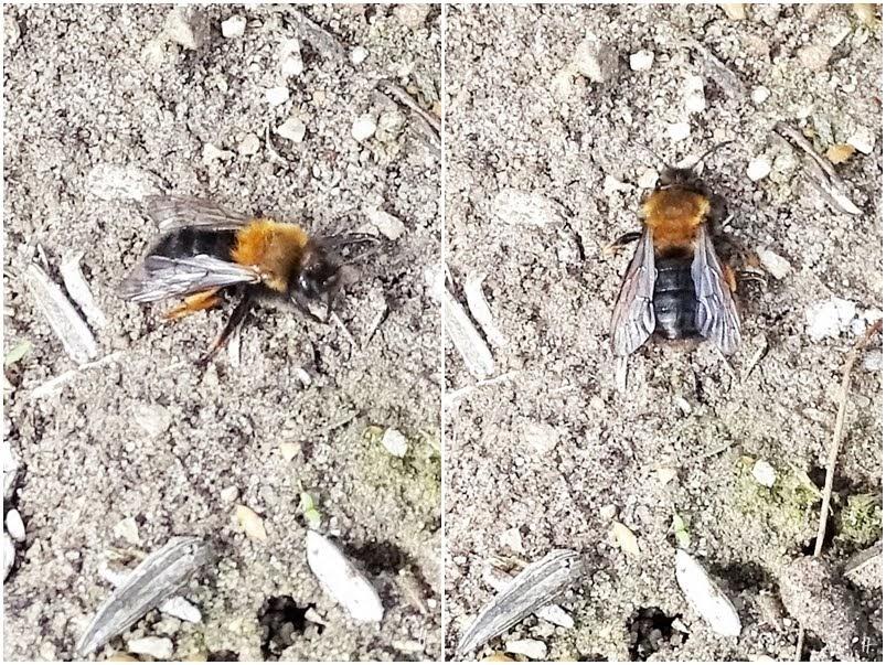 2019-03-27 LüchowSss Garten Zweifarbige Sandbiene (Andrena bicolor) am Boden (1x2)