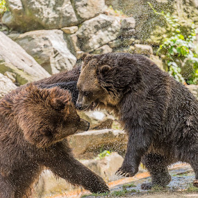 Grizzly Action by John Sinclair - Animals Other ( grizzly, nature, nature up close )