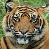 Free Tiger HD Live Wallpaper
