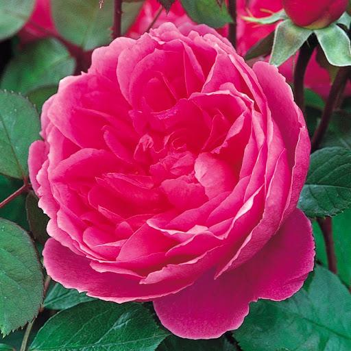 Hoa Hồng đậm thể hiện lòng biết ơn sâu sắc