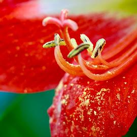Pollen by Ken Nicol - Flowers Flower Buds (  )