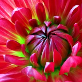 Dahlia - front side by Michael Schwartz - Flowers Single Flower ( beauty, dahlia, flower )