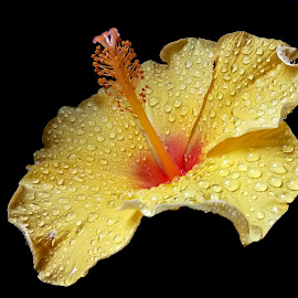Hibiscus  by Asif Bora - Instagram & Mobile Other