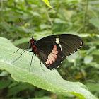 Pink Cattleheart Butterfly, Transandean Cattleheart