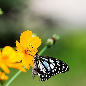 butterfly by Uday Shankar - Animals Insects & Spiders