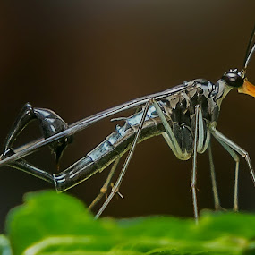 Scorpion Fly by Raden Bagus Paijo - Animals Insects & Spiders ( macro photography, insect, makro, animal )
