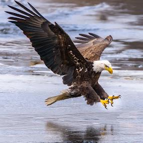 by John Sinclair - Animals Birds ( flight, eagle, nature, wildlife )
