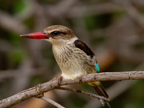 Photo: Brown hooded kingfisher, Mokolodi Game reserve, Botswana