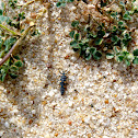 Seven-spot Ladybird (Larva)