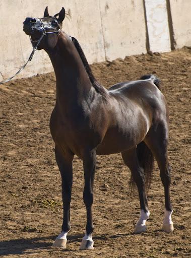 DSC_0075 arab stallion 8 years and older ne az.jpg