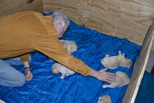 cute golden retriever puppies sleeping. DSC_0041 dave in puppy box to